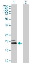 H00003467-B01P - IFNW1 / Interferon omega-1