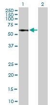 H00003597-B01P - CD213a1 / IL13RA1