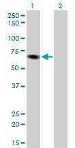 H00003707-M01 - IP3 3-kinase B / ITPKB