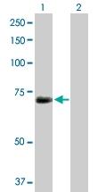 H00003836-D01P - KPNA1 / Importin alpha-1