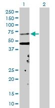 H00003841-D01P - KPNA5 / Importin alpha-6