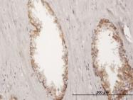 H00003880-B02P - Cytokeratin 19