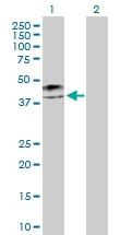 H00003880-D01P - Cytokeratin 19