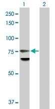 H00004001-D01P - Lamin-B1 (LMNB1)