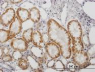 H00004129-B01P - Amine Oxidase B