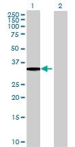H00004291-B01 - Myeloid leukemia factor 1