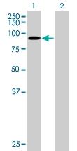 H00004311-B01P - CD10 / Neprilysin