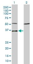H00004656-D01P - Myogenin