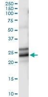 H00004909-D01 - Neurotrophin 4 / NTF4
