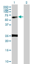 H00004924-D01P - Nucleobindin-1