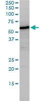 H00004924-M01 - Nucleobindin-1