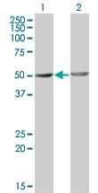 H00004958-M01 - Osteomodulin
