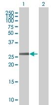 H00004993-B01 - Olfactory receptor 2C1