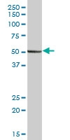 H00005184-B01 - Peptidase D / PEPD