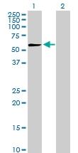 H00005184-D01P - Peptidase D / PEPD