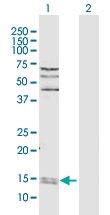 H00005478-D01P - Cyclophilin A