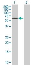 H00005495-B01 - Protein phosphatase 1B / PPM1B