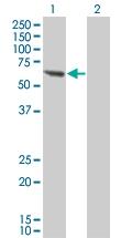 H00005495-M01 - Protein phosphatase 1B / PPM1B