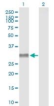 H00005540-B01P - NPY receptor 4 / NPY4R