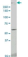H00005591-M02 - DNA-PKcs / PRKDC / XRCC7