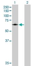 H00005742-D01P - Cyclooxygenase 1