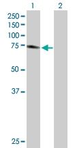 H00005743-D01P - Cyclooxygenase 2