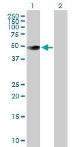 H00005818-B01P - CD111 / Nectin 1