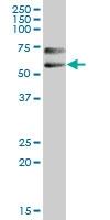 H00005819-B01P - CD112 / Nectin 2