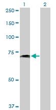 H00005819-D01P - CD112 / Nectin 2