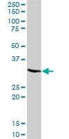 H00006386-B01P - Syntenin-1 / SDCBP