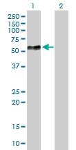H00006402-B01 - CD62L / L-Selectin