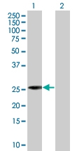 H00006804-B01 - Syntaxin 1A / STX1A