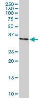 H00006804-D01 - Syntaxin 1A / STX1A
