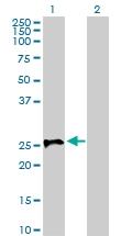H00006804-D01P - Syntaxin 1A / STX1A