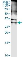 H00006810-D01 - Syntaxin 4 / STX4