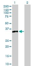 H00006810-D01P - Syntaxin 4 / STX4