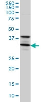 H00006811-M01 - Syntaxin 5 / STX5