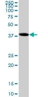 H00006857-M01 - Synaptotagmin-1