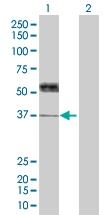 H00007066-B01 - Thrombopoietin