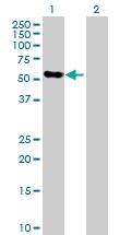 H00007066-D01P - Thrombopoietin