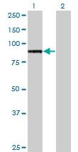 H00007097-M38 - CD282 / TLR2
