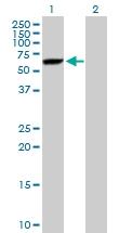 H00007266-B01P - DNAJC7 / TPR2