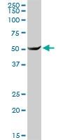 H00007266-D01P - DNAJC7 / TPR2