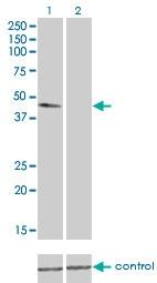 H00007277-M01 - alpha Tubulin / TUBA4A / TUBA1