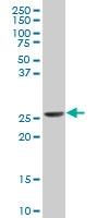 H00007533-A01 - 14-3-3 protein eta