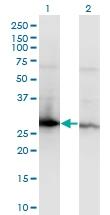 H00007534-M04 - 14-3-3 protein zeta/delta