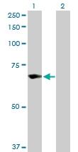 H00007706-D01P - TRIM25 / RNF147
