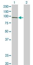 H00007812-A01 - UNR protein / CSDE1