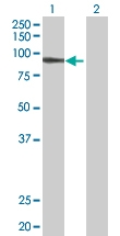 H00007812-B01 - UNR protein / CSDE1