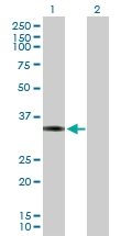 H00008061-B02P - Fos-related antigen 1